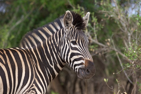 kruger national park: Plains or Burchells Zebra (Equus burchellii) grazing in the Kruger National Park, South Africa. Stock Photo
