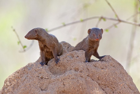mongoose: A pair of Dwarf Mongoose (Helogale parvula) at their den in a termite mound, Kruger National Park, South Africa.