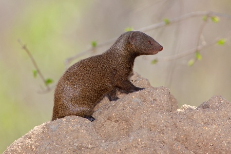 mongoose: A Dwarf Mongoose (Helogale parvula) at its den in a termite mound, Kruger National Park, South Africa. Stock Photo