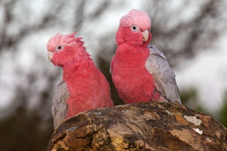 cockatoo: A pair of Galahs (a type of cockatoo) at The Pinnacles, Nambung National Park, Western Australia.