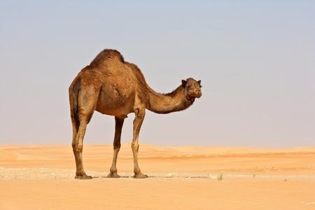 kamel: Ein Kamel in der Rub al Khali oder Leeres Viertel. Gebiets�bergreifender Oman, Saudi-Arabien, die Vereinigten Arabischen Emirate und Jemen, das ist die gr��te Sandw�ste der Welt. Lizenzfreie Bilder