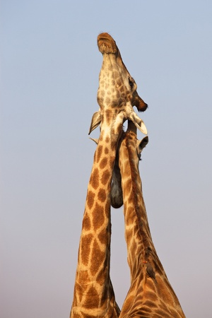 necking: Giraffe pair necking in the Kruger National Park, South Africa. Stock Photo