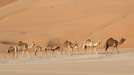 Camels in the Rub al Khali or Empty Quarter. Straddling Oman, Saudi Arabia, the UAE and Yemen, this is the largest sand desert in the world. Standard-Bild