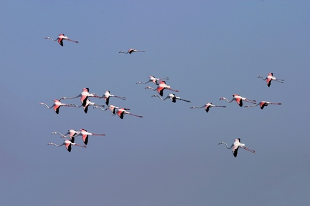 greater: Greater Flamingos in flight over Dubai Creek in the United Arab Emirates. Stock Photo