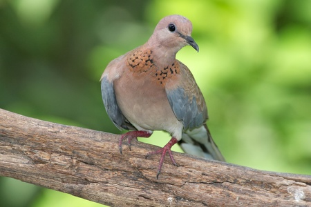 gcc: A Laughing Dove photographed in Dubai in the United Arab Emirates.