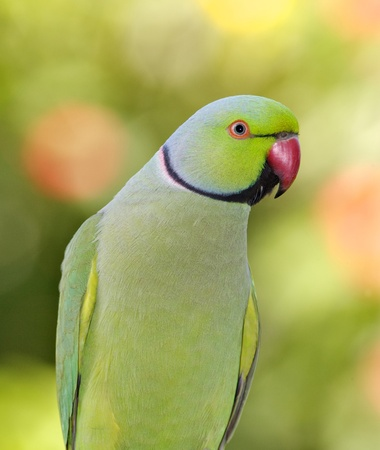 birdlife: Portrait of a male Ringnecked Parakeet, Dubai, United Arab Emirates.