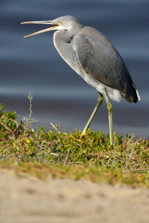 birdlife: A dark phase (dark morph)  Western Reef Heron, Egretta gularis, also known as the Western Reef Egret.