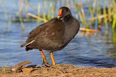 occurs: The Dusky Moorhen (Gallinula tenebrosa) occurs in Australia, New Guinea and Indonesia. This example was photographed in Western Australia.