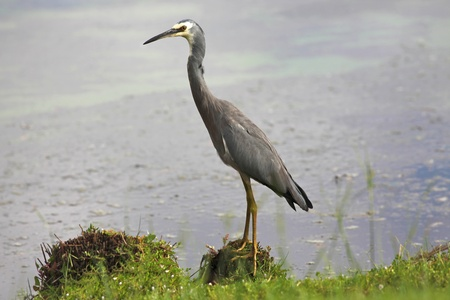 birdlife: The White-faced Heron (Egretta novaehollandiae) is a common bird throughout most of Australia, New Guinea, Indonesia, New Zealand and the islands of the Subantarctic.