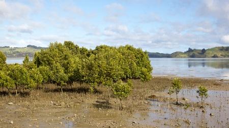 estuary: Mangroves at Hokianga Harbour, North Island, New Zealand.