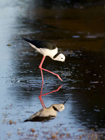 The Black-winged Stilt, Common Stilt or Pied Stilt  Himantopus himantopus , is a widely distributed, very long-legged wader in the avocet and stilt family Stock Photo - 12710589