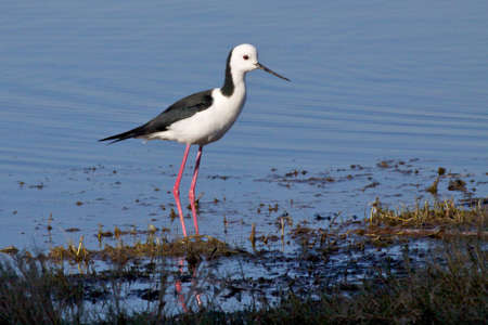 birdlife: The Black-winged Stilt, Common Stilt or Pied Stilt  Himantopus himantopus , is a widely distributed, very long-legged wader in the avocet and stilt family    Stock Photo