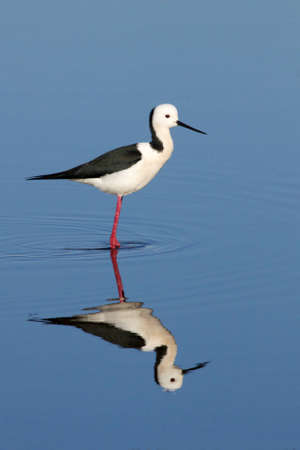 The Black-winged Stilt, Common Stilt or Pied Stilt  Himantopus himantopus , is a widely distributed, very long-legged wader in the avocet and stilt family    Stock Photo - 12710588