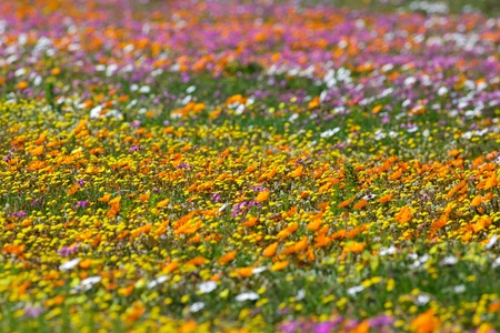 A profusion of wildflowers growing in the West Coast National Park, near Langebaan in the Western Cape, South Africa. Stock Photo