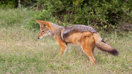 A black-backed jackal  Canis mesomelas , also known as the silver-backed or red jackal,  in the Eastern Cape, South Africa  photo