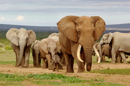 pozo de agua: Una manada de elefantes, liderado por un magnífico