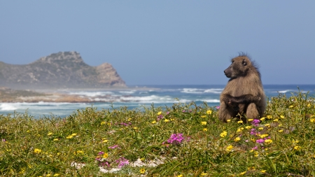 A male chacma baboon  Papio ursinus  on the lookout near the Cape of Good Hope, South Africa