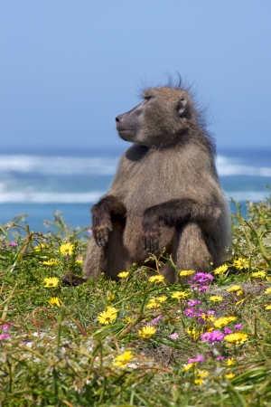 cape of good hope: A chacma baboon (Papio ursinus) on the lookout near the Cape of Good Hope, South Africa.