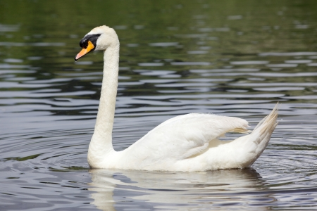 mute swan: A Mute Swan (Cygnus olor) glides across Lake Bolam, near Belsay in Northumberland, United Kingdom. Stock Photo