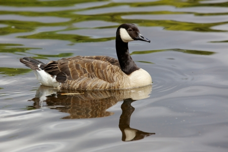 canada goose: A Canada Goose (Branta canadensis) swimming on Lake Bolam, near Belsay in Northumberland, United Kingdom. Stock Photo