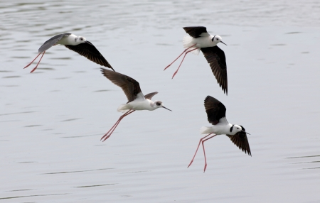birdlife: The Black-winged Stilt, Common Stilt, or Pied Stilt (Himantopus himantopus), is a widely distributed, very long-legged wader in the avocet and stilt family.   Stock Photo