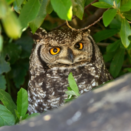 birdlife: Adult Spotted Eagle Owl, Table Mountain, South Africa.