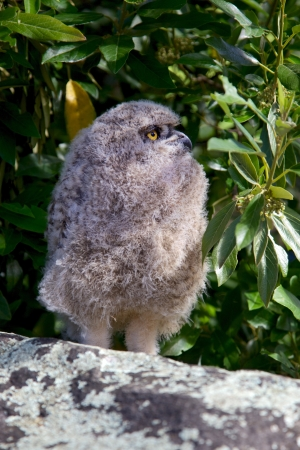 birdlife: Young Spotted Eagle Owl, Table Mountain, South Africa.