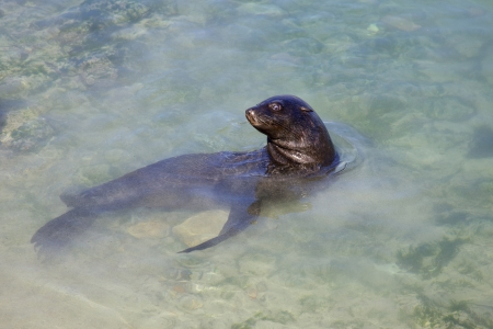 A Cape Fur Seal  Arctocephalus pusillus  in Hout Bay Harbour, Cape Town, South Africa  photo