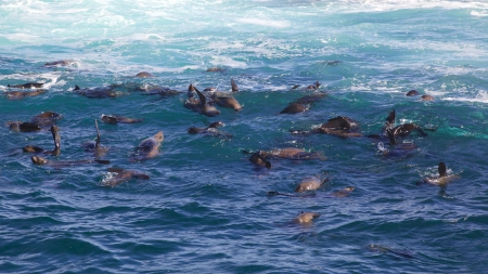 A pod of Cape Fur Seals  Arctocephalus pusillus  swimming at Duiker Island, near Hout Bay, Cape Town, South Africa