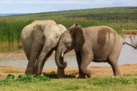 Young Elephants playing at a waterhole in the Addo Elephant National Park.