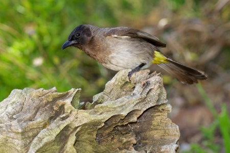birdlife: The Common Bulbul (Pycnonotus barbatus) is a ubiquitous resident breeder throughout Africa. Other names include Black-eyed Bulbul, Dark-Capped Bulbul and Common Garden Bulbul.
