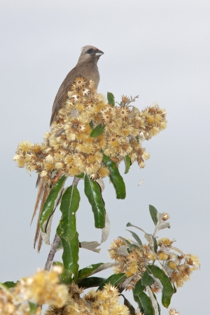 birdlife: The Speckled Mousebird (Colius striatus) is the largest species of mousebird, as well as one of the most common. It is distributed from Cameroon east to Eritrea and Ethiopia, and south through eastern Africa to southern South Africa.