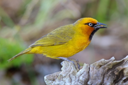 birdlife: The Spectacled Weaver (Ploceus ocularis) is a species of bird in the Ploceidae family. It is found widely in woodland, forest edge and gardens of East, Middle and Southern Africa, but is absent from the most arid regions and dense, primary rainforest.