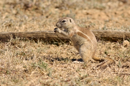 xerus inauris: A well-camouflaged Ground Squirrel (Xerus inauris) eating in the warm sunshine.