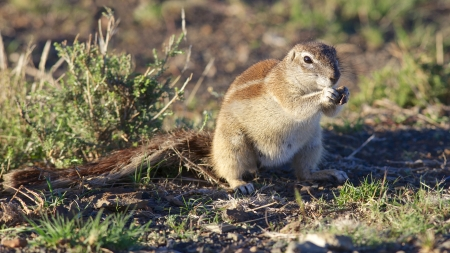 xerus inauris: The Ground Squirrel (Xerus inauris) is found in most of the drier parts of southern Africa from South Africa, through to Botswana, and into Namibia. Stock Photo