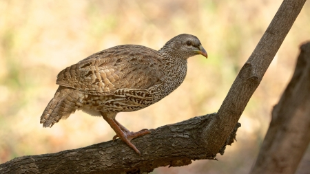phasianidae: The Natal Spurfowl or Natal Francolin (Pternistis natalensis) is a species of bird in the Phasianidae family. It is found in Botswana, Mozambique, South Africa, Swaziland, Zambia, and Zimbabwe.