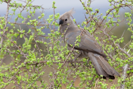 south african birds: The Grey Go-away-bird (Corythaixoides concolor), also known as Grey Lourie or Grey Loerie, is a southern African bird of uniform grey with black beak. It is widespread in savanna woodland, and is a clumsy flier although extremely agile when clambering thr Stock Photo