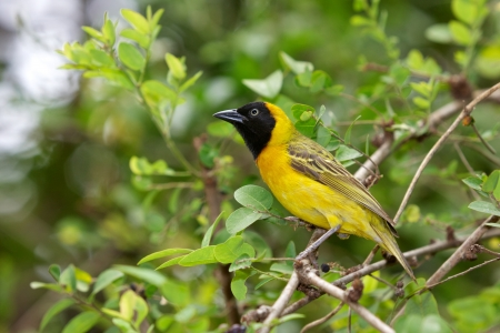 gregarious: The Lesser Masked-Weaver (Ploceus intermedius) is a small and gregarious weaver bird that is widespread in Africa south of the Sahara.