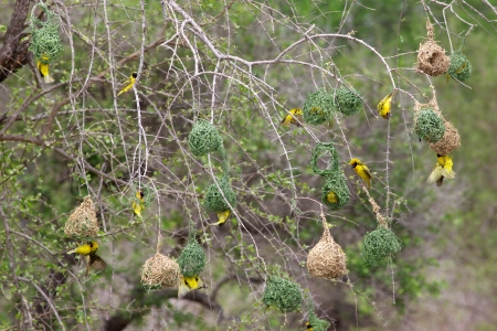 The Village Weaver (Ploceus cucullatus), also known as the Spotted-backed Weaver or Black-headed Weaver, is a species of weaver bird found in much of sub-Saharan Africa. It has also been introduced to Hispaniola, Mauritius.