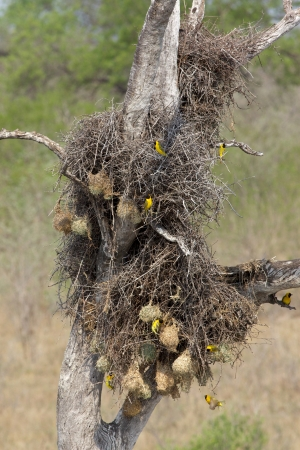The Lesser Masked-Weaver (Ploceus intermedius) is a small and gregarious weaver bird that is widespread in Africa south of the Sahara.  photo