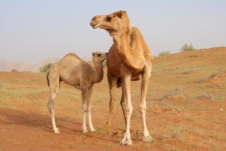 A camel with her calf near Wadi Al Faya, in the emirate of Sharjah in the UAE. Stock Photo