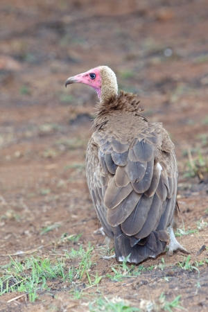 birdlife: A Hooded Vulture in the Kruger National Park, South Africa.