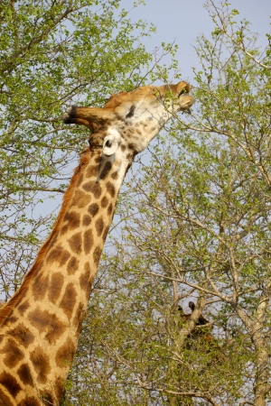 A male giraffe (Giraffa camelopardalis) stretches to feed in the Kruger National Park, South Africa. photo