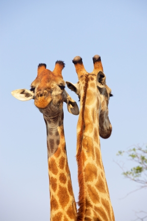 A pair of giraffes (Giraffa camelopardalis) in the Kruger National Park, South Africa.