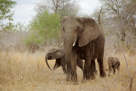 An African elephant (Loxodonta africana) cow with two young calves in the Kruger National Park, South Africa. Standard-Bild