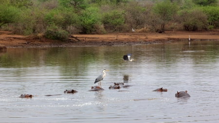 birdlife: Hippos (Hippopotamus amphibius) and and Grey Herons (Ardea cinerea) at Sunset Dam in the Kruger National Park.