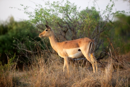 An impala ewe (Aepyceros melampus) in the Kruger National Park, South Africa. photo