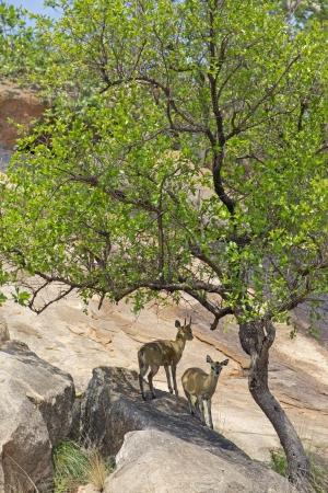 A pair of klipspringer  Oreotragus oreotragus  in the Kruger National Park, South Africa  photo