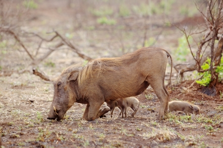 suckle: A female warthog (Phacochoerus aethiopicus)  grazing while two of her tiny piglets suckle in the Kruger National Park, South Africa.