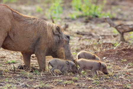 kruger national park: A female warthog (Phacochoerus aethiopicus)  grazing with her piglets in the Kruger National Park, South Africa. Stock Photo